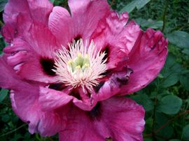 kastrierte Pfingstrosen Blüte ohne Pollen