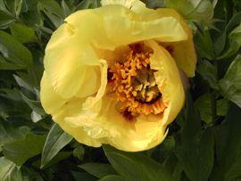 """:  Die Sorte ´Gelbe aus Riga´ wird oft als gelbe P.rockii  bezeichnet. Dies ist nicht ganz richtig, denn  es handelt sich um eine Form, die zur Gruppe  der sogenannten """"Lutea-Hybriden"""" gehört."""