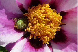 Der Rosenkäfer ist vielerorts ein für züchterische Arbeiten unerwünschter und störender Pollenüberträger